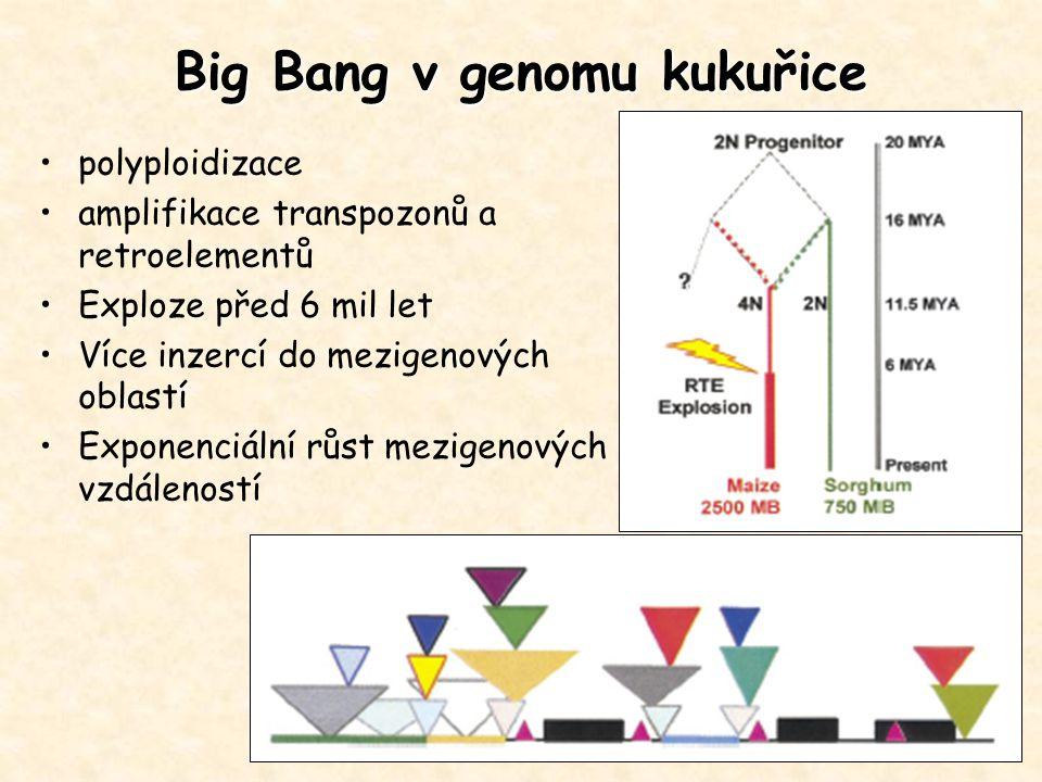 Big Bang v genomu kukuřice polyploidizace amplifikace transpozonů a retroelementů Exploze před 6 mil let Více inzercí do mezigenových oblastí Exponenc