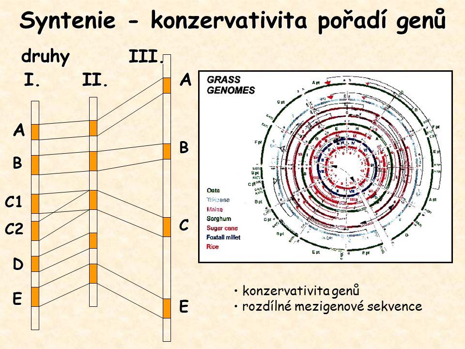 Syntenie - konzervativita pořadí genů A B C1 C2 D E A B C E druhy I.II. III. konzervativita genů rozdílné mezigenové sekvence