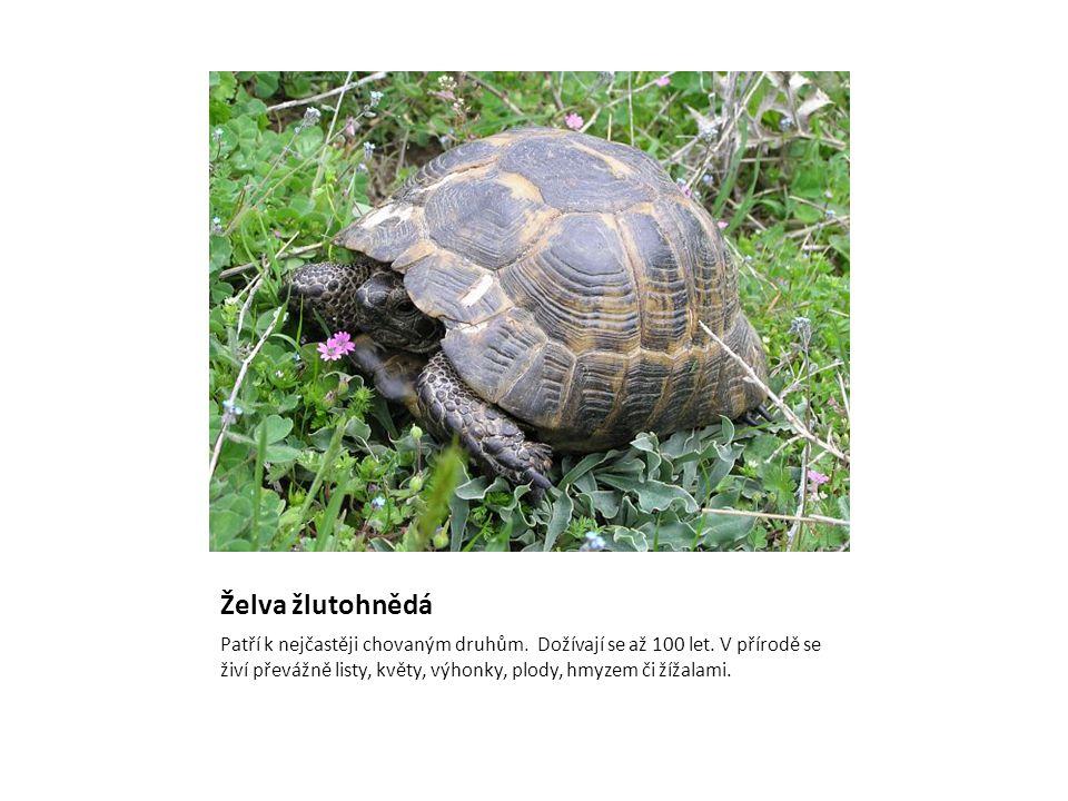 Želva žlutohnědá Patří k nejčastěji chovaným druhům. Dožívají se až 100 let. V přírodě se živí převážně listy, květy, výhonky, plody, hmyzem či žížala