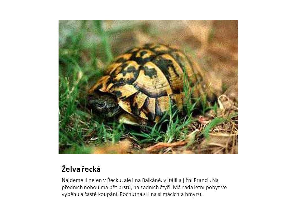 Želva řecká Najdeme ji nejen v Řecku, ale i na Balkáně, v Itálii a jižní Francii. Na předních nohou má pět prstů, na zadních čtyři. Má ráda letní poby