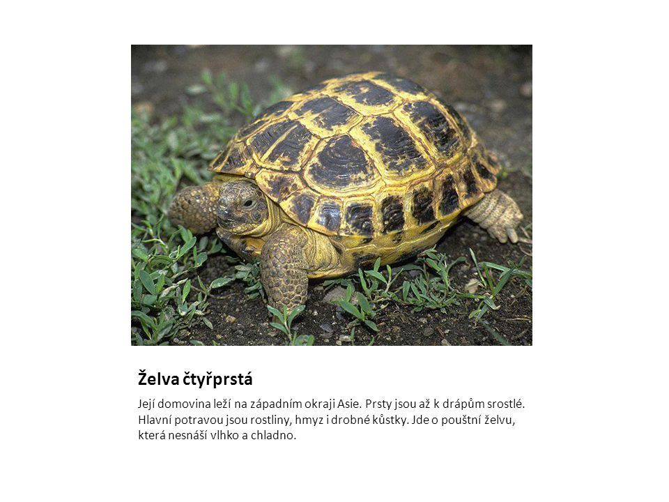 Želva čtyřprstá Její domovina leží na západním okraji Asie. Prsty jsou až k drápům srostlé. Hlavní potravou jsou rostliny, hmyz i drobné kůstky. Jde o