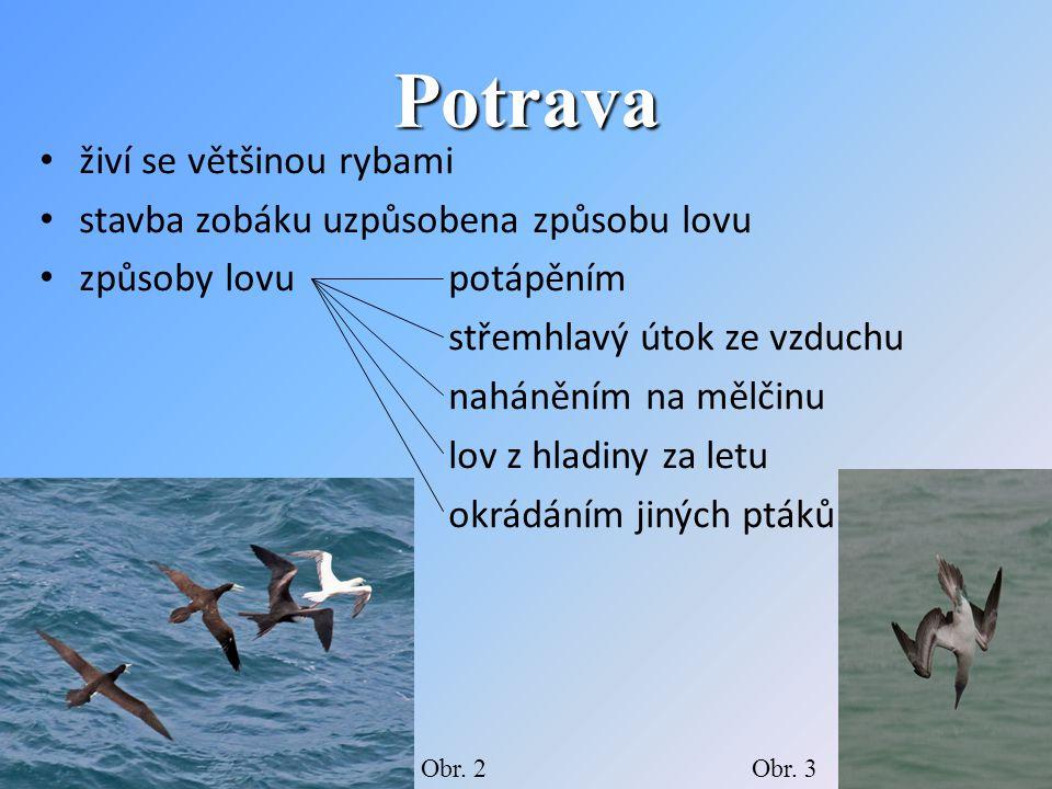 Potrava živí se většinou rybami stavba zobáku uzpůsobena způsobu lovu způsoby lovu potápěním střemhlavý útok ze vzduchu naháněním na mělčinu lov z hladiny za letu okrádáním jiných ptáků Obr.