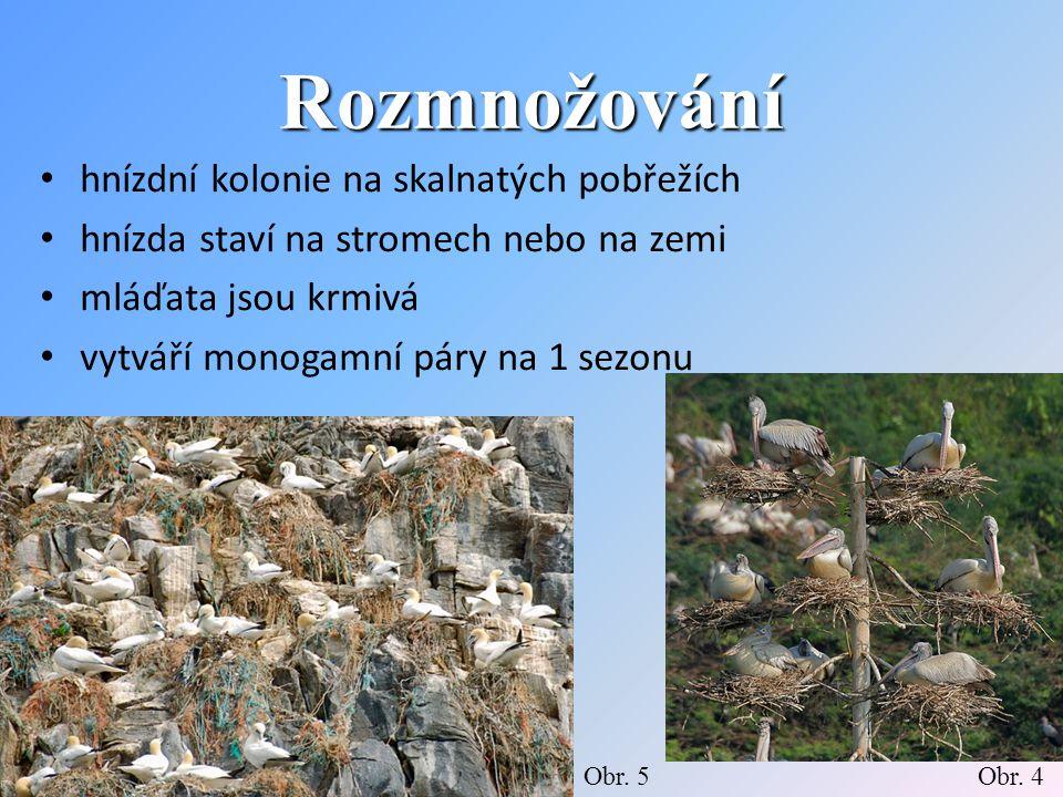 Rozmnožování hnízdní kolonie na skalnatých pobřežích hnízda staví na stromech nebo na zemi mláďata jsou krmivá vytváří monogamní páry na 1 sezonu Obr.