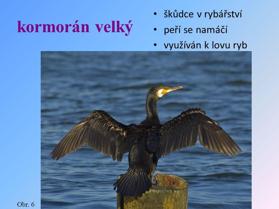 kormorán velký škůdce v rybářství peří se namáčí využíván k lovu ryb Obr. 6