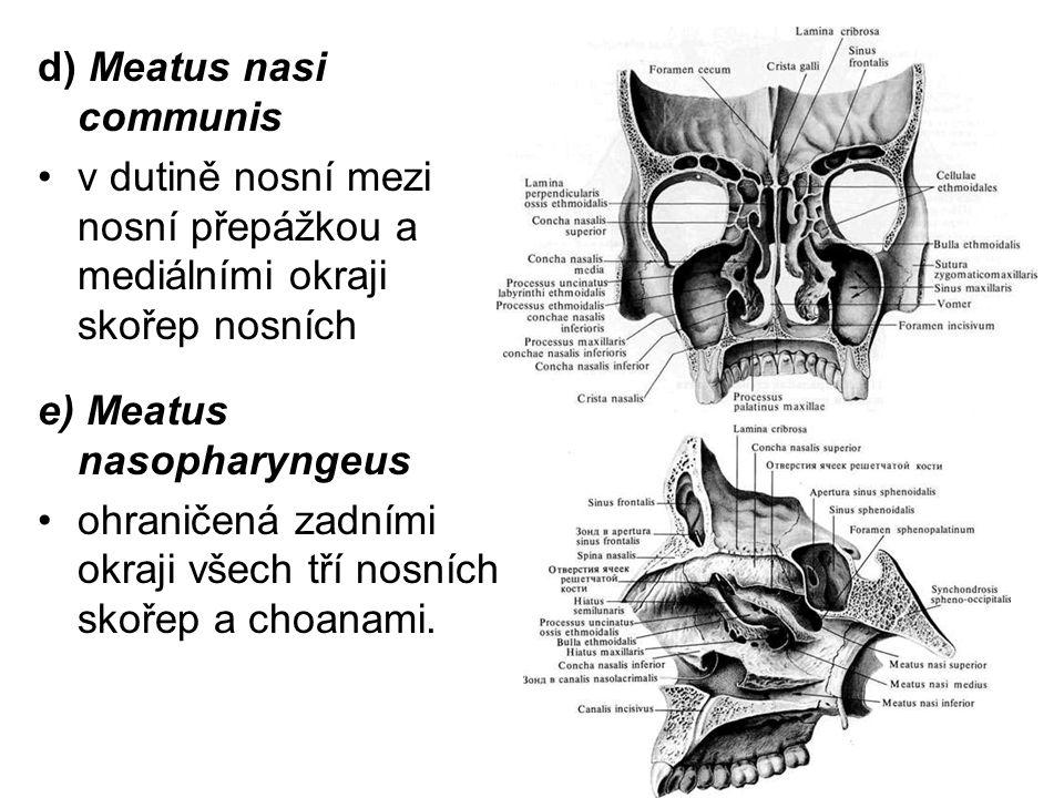 d) Meatus nasi communis v dutině nosní mezi nosní přepážkou a mediálními okraji skořep nosních e) Meatus nasopharyngeus ohraničená zadními okraji všech tří nosních skořep a choanami.