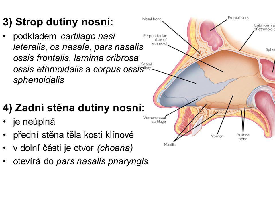 3) Strop dutiny nosní: podkladem cartilago nasi lateralis, os nasale, pars nasalis ossis frontalis, lamima cribrosa ossis ethmoidalis a corpus ossis sphenoidalis 4) Zadní stěna dutiny nosní: je neúplná přední stěna těla kosti klínové v dolní části je otvor (choana) otevírá do pars nasalis pharyngis