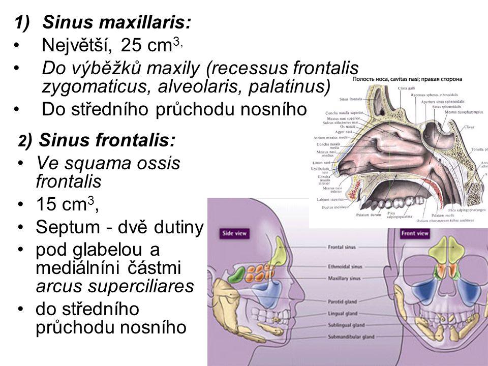 1)Sinus maxillaris: Největší, 25 cm 3, Do výběžků maxily (recessus frontalis zygomaticus, alveolaris, palatinus) Do středního průchodu nosního 2 ) Sinus frontalis: Ve squama ossis frontalis 15 cm 3, Septum - dvě dutiny pod glabelou a mediálníni částmi arcus superciliares do středního průchodu nosního