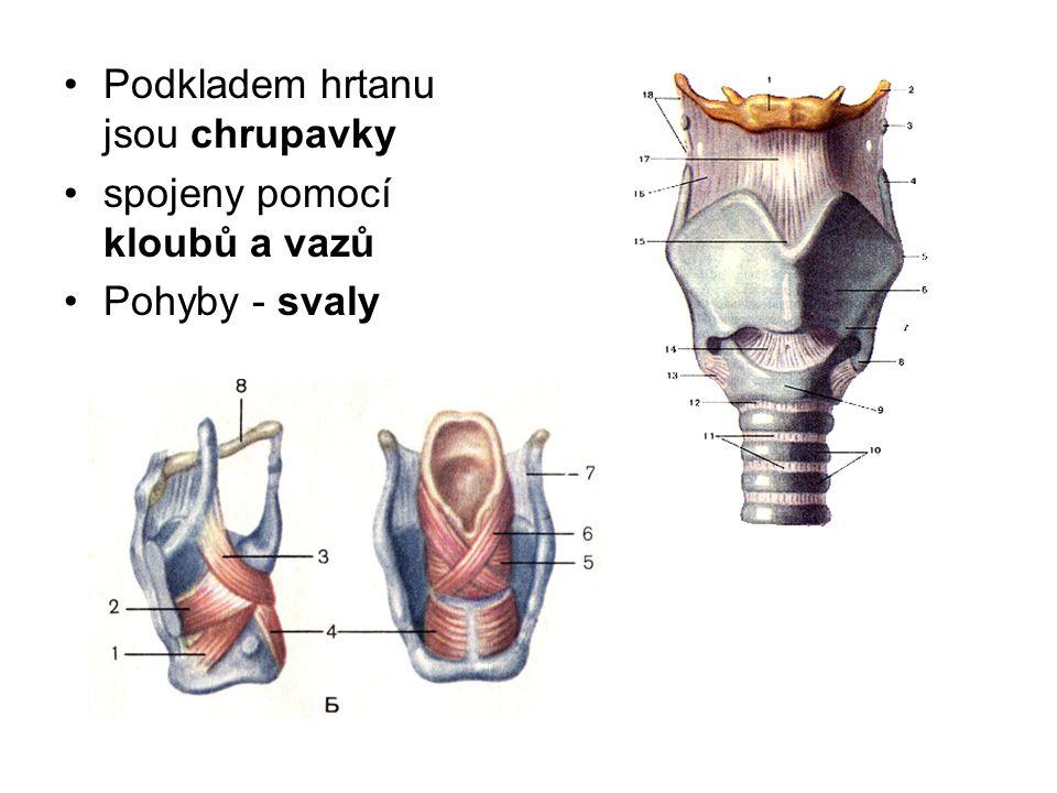 Podkladem hrtanu jsou chrupavky spojeny pomocí kloubů a vazů Pohyby - svaly