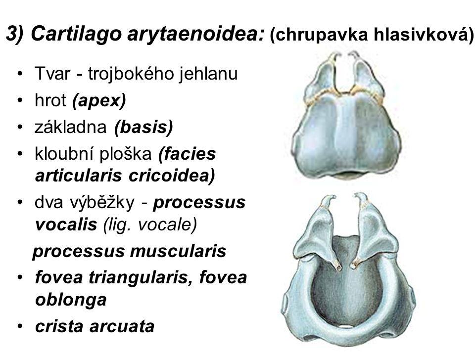 3) Cartilago arytaenoidea: (chrupavka hlasivková) Tvar - trojbokého jehlanu hrot (apex) základna (basis) kloubní ploška (facies articularis cricoidea) dva výběžky - processus vocalis (lig.