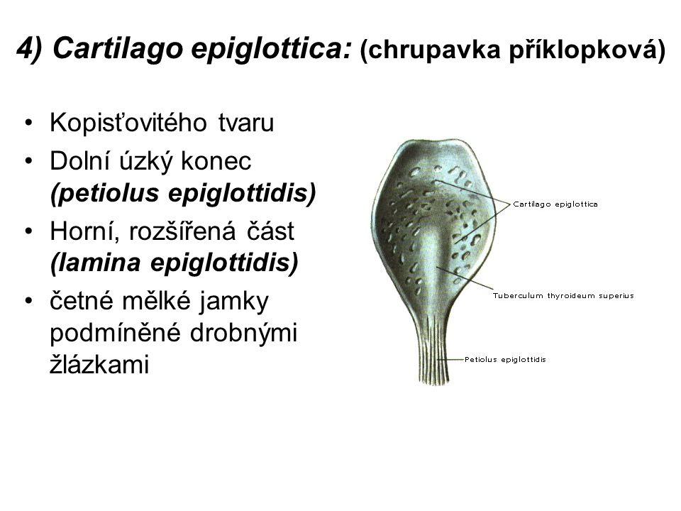 4) Cartilago epiglottica: (chrupavka příklopková) Kopisťovitého tvaru Dolní úzký konec (petiolus epiglottidis) Horní, rozšířená část (lamina epiglottidis) četné mělké jamky podmíněné drobnými žlázkami