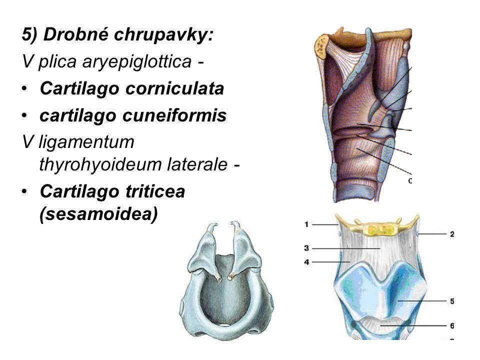 5) Drobné chrupavky: V plica aryepiglottica - Cartilago corniculata cartilago cuneiformis V ligamentum thyrohyoideum laterale - Cartilago triticea (sesamoidea)