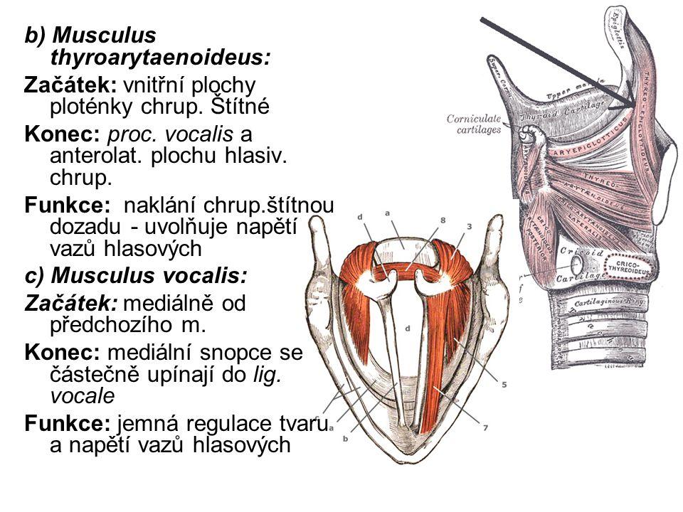 b) Musculus thyroarytaenoideus: Začátek: vnitřní plochy ploténky chrup.