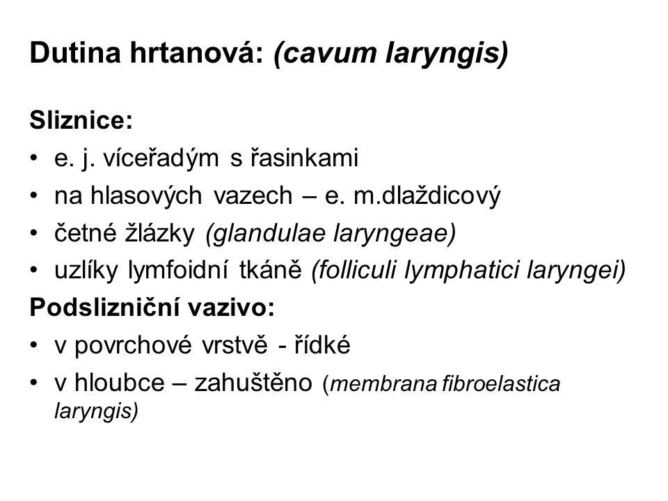 Dutina hrtanová: (cavum laryngis) Sliznice: e.j. víceřadým s řasinkami na hlasových vazech – e.