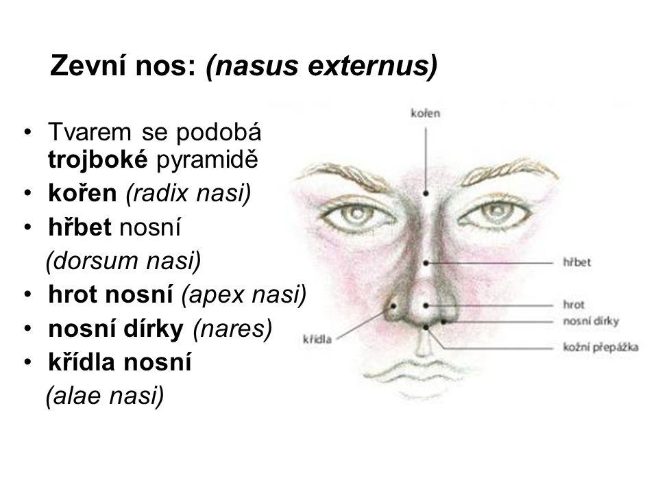 Zevní nos: (nasus externus) Tvarem se podobá trojboké pyramidě kořen (radix nasi) hřbet nosní (dorsum nasi) hrot nosní (apex nasi) nosní dírky (nares) křídla nosní (alae nasi)