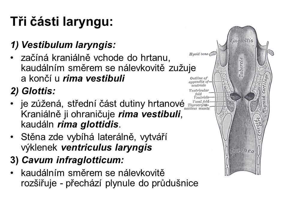 Tři části laryngu: 1)Vestibulum laryngis: začíná kraniálně vchode do hrtanu, kaudálním směrem se nálevkovitě zužuje a končí u rima vestibuli 2) Glottis: je zúžená, střední část dutiny hrtanové Kraniálně ji ohraničuje rima vestibuli, kaudáln rima glottidis.