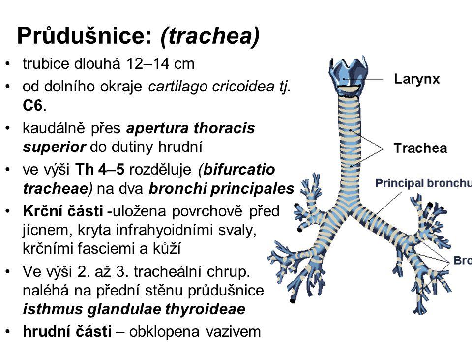 Průdušnice: (trachea) trubice dlouhá 12–14 cm od dolního okraje cartilago cricoidea tj.