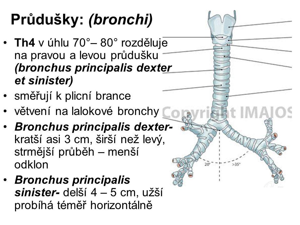 Průdušky: (bronchi) Th4 v úhlu 70°– 80° rozděluje na pravou a levou průdušku (bronchus principalis dexter et sinister) směřují k plicní brance větvení na lalokové bronchy Bronchus principalis dexter- kratší asi 3 cm, širší než levý, strmější průběh – menší odklon Bronchus principalis sinister- delší 4 – 5 cm, užší probíhá téměř horizontálně