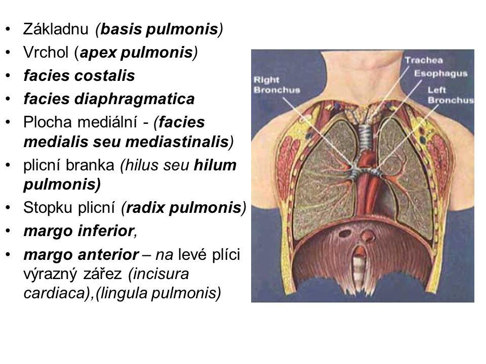 Základnu (basis pulmonis) Vrchol (apex pulmonis) facies costalis facies diaphragmatica Plocha mediální - (facies medialis seu mediastinalis) plicní branka (hilus seu hilum pulmonis) Stopku plicní (radix pulmonis) margo inferior, margo anterior – na levé plíci výrazný zářez (incisura cardiaca),(lingula pulmonis)