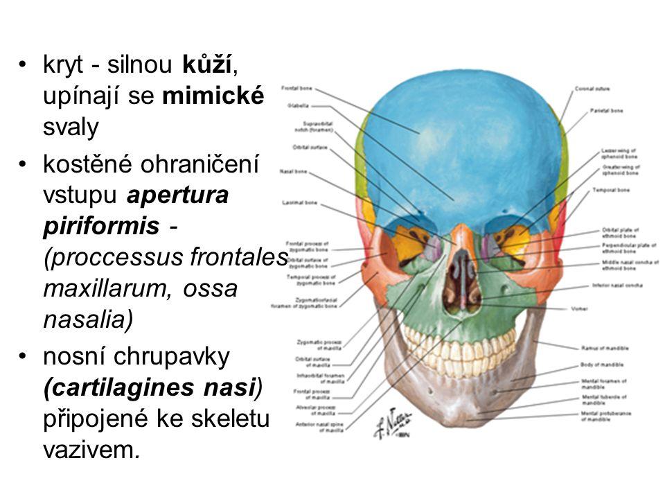 Sliznice - dva odlišné slizniční oddíly Regio olfactoria - smyslové čichové buňky (stropu dutiny nosní, horní části laterální stěny) Regio respiratoria – e.j.