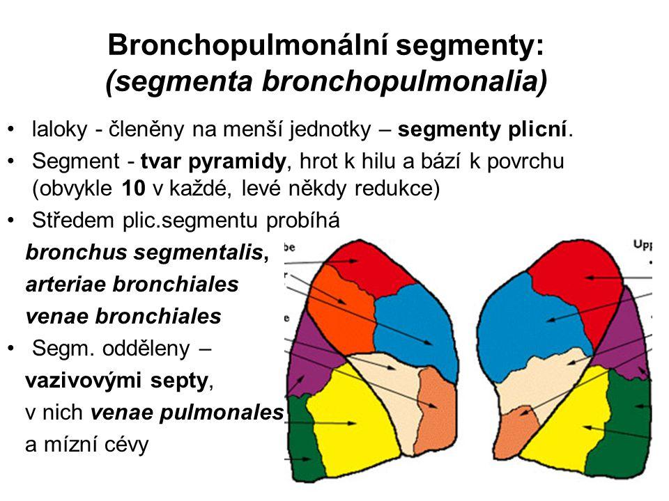 Bronchopulmonální segmenty: (segmenta bronchopulmonalia) laloky - členěny na menší jednotky – segmenty plicní.