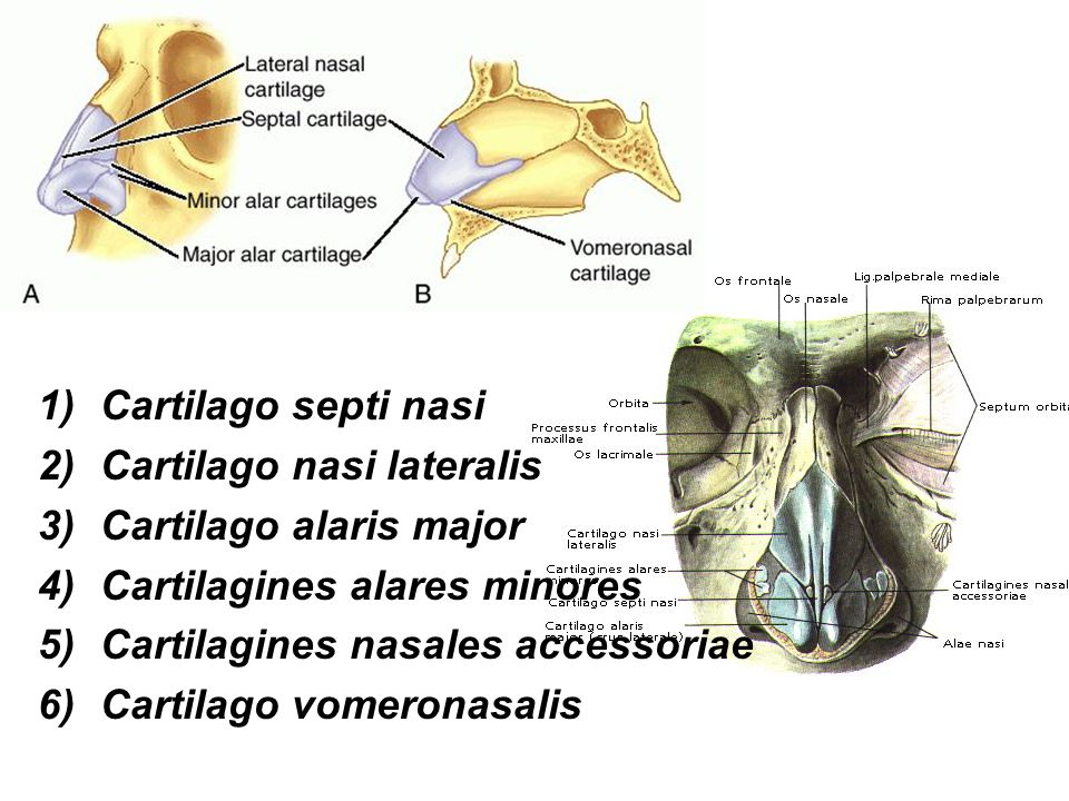 Dutina nosní: (cavum nasi) Dělení: předsíň dutiny nosní (vestibulum nasi) vlastní dutinu nosní (cavum nasi proprium) vzadu přechází do nosohltanu