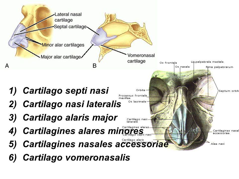 Klouby laryngu: (articulationes laryngis) 1)Articulatio cricoarytaenoidea: facies articularis cricoidea (hlas.), facies articularis arytaenoidea (prstenc.) rotační pohyby, podkladem abdukce a addukce hlasových vazů – (pohyby napínaní a uvolňování ligamenta vocalia)