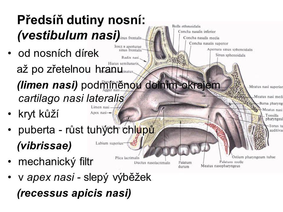 Předsíň dutiny nosní: (vestibulum nasi) od nosních dírek až po zřetelnou hranu (limen nasi) podmíněnou dolním okrajem cartilago nasi lateralis kryt kůží puberta - růst tuhých chlupů (vibrissae) mechanický filtr v apex nasi - slepý výběžek (recessus apicis nasi)