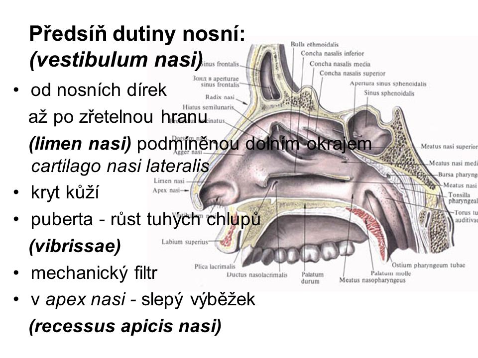 3) Sinus ethmoidalis: dutinek v labyrinthus ethmoidalis (3 – 18 dutinek) Cellulae ethmoidales - anteriores, medii, posteriores do středního průchodu nosního a meatus nasi superior 4) Sinus sphenoidalis: Septum – dvě dutinky, 6 cm 3, do meatus nasi superior