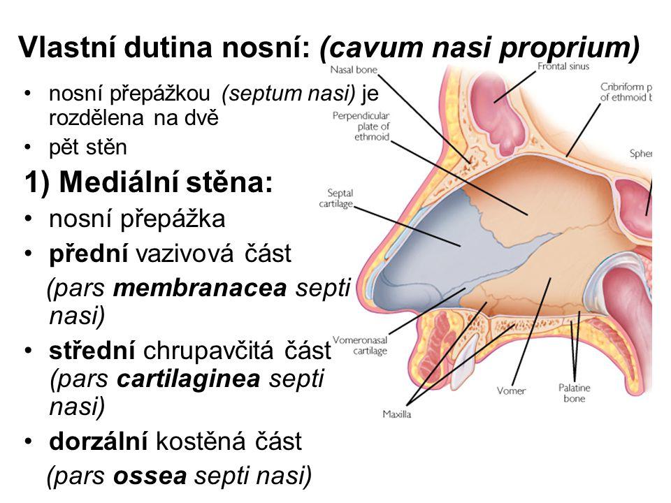 Vlastní dutina nosní: (cavum nasi proprium) nosní přepážkou (septum nasi) je rozdělena na dvě pět stěn 1) Mediální stěna: nosní přepážka přední vazivová část (pars membranacea septi nasi) střední chrupavčitá část (pars cartilaginea septi nasi) dorzální kostěná část (pars ossea septi nasi)