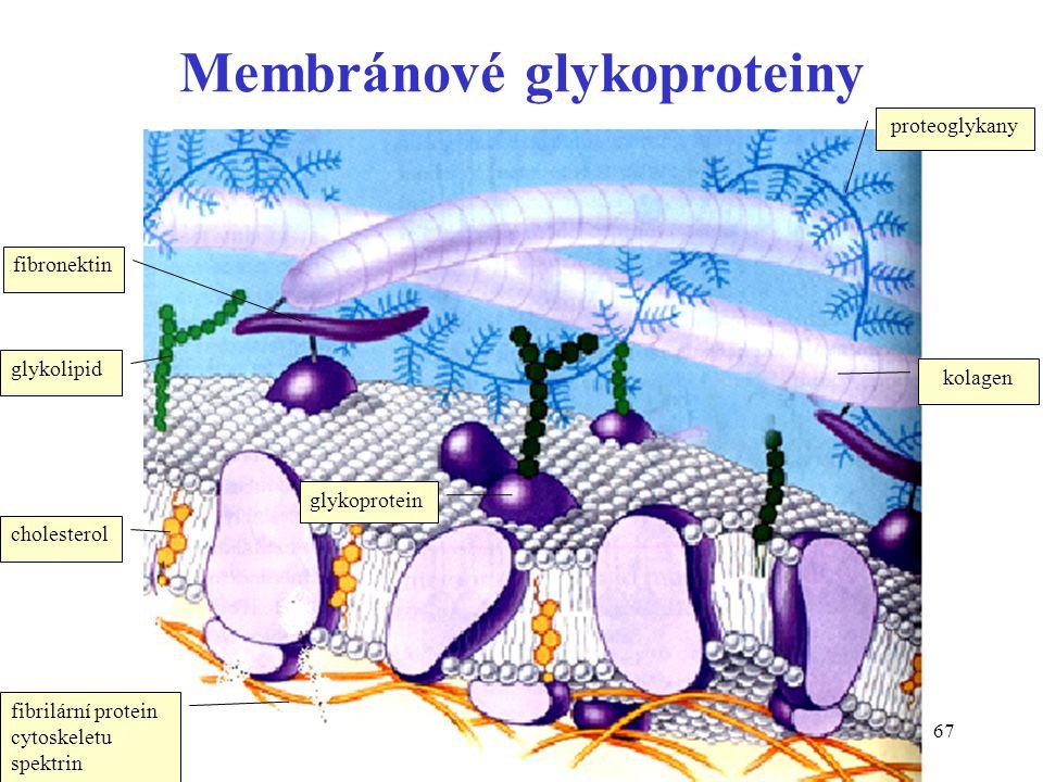 67 Membránové glykoproteiny cholesterol glykolipid glykoprotein fibronektin kolagen proteoglykany fibrilární protein cytoskeletu spektrin