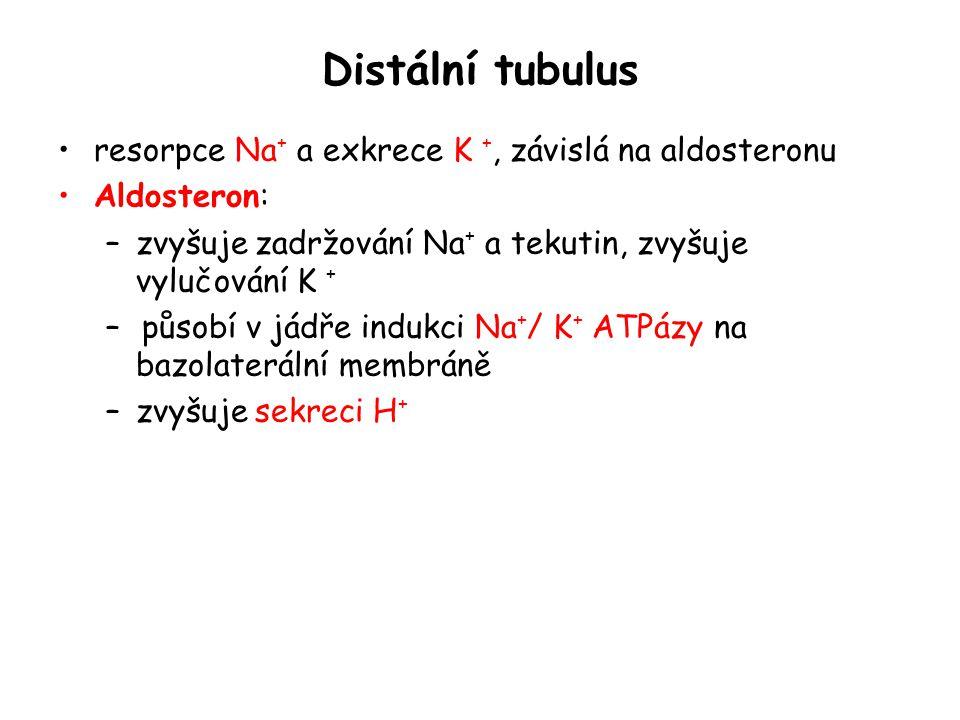 Distální tubulus resorpce Na + a exkrece K +, závislá na aldosteronu Aldosteron: –zvyšuje zadržování Na + a tekutin, zvyšuje vylučování K + – působí v