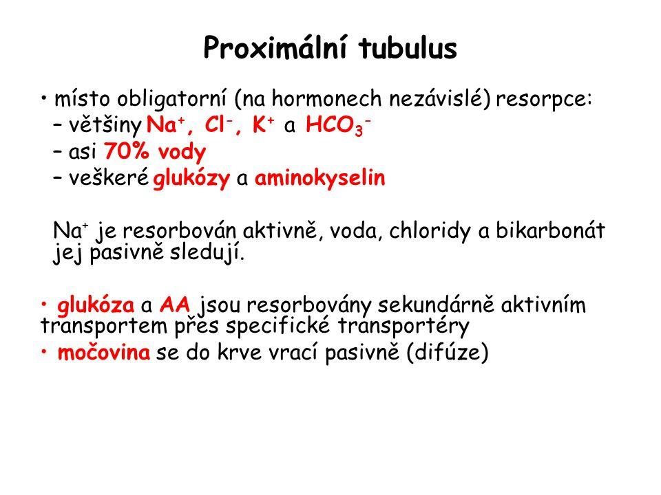 Proximální tubulus místo obligatorní (na hormonech nezávislé) resorpce: – většiny Na +, Cl -, K + a HCO 3 - – asi 70% vody – veškeré glukózy a aminoky
