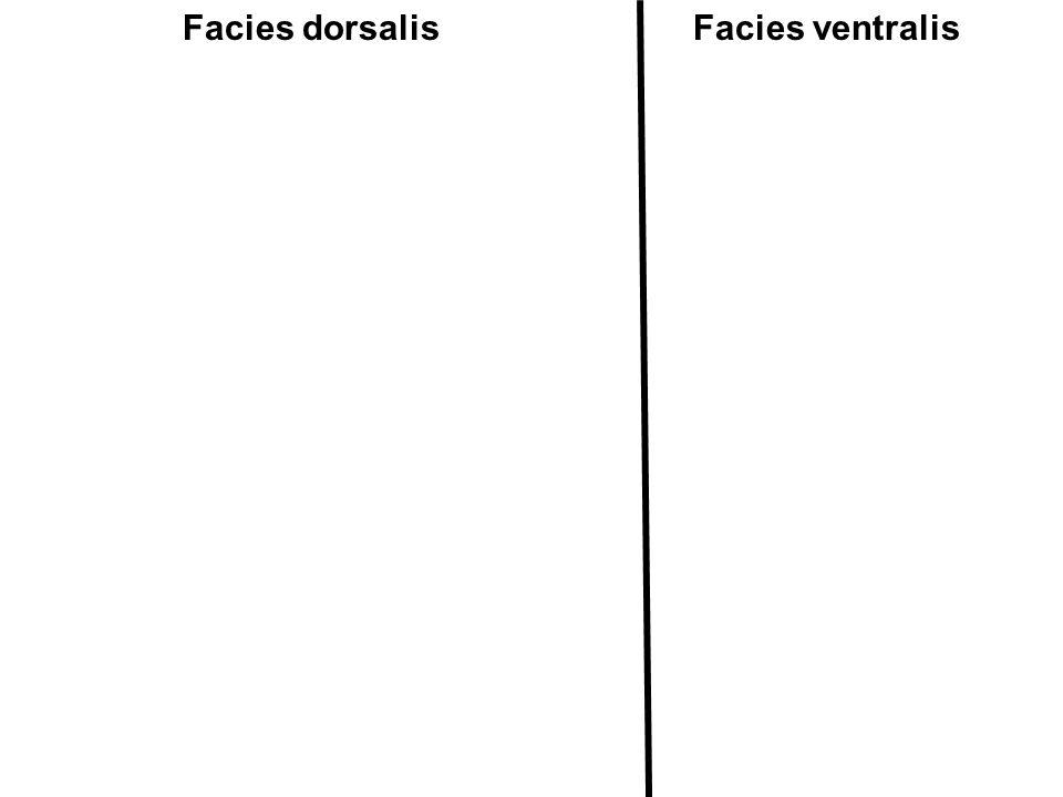 Facies dorsalisFacies ventralis