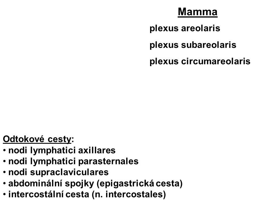plexus areolaris plexus subareolaris plexus circumareolaris Mamma Odtokové cesty: nodi lymphatici axillares nodi lymphatici parasternales nodi supraclaviculares abdominální spojky (epigastrická cesta) intercostální cesta (n.