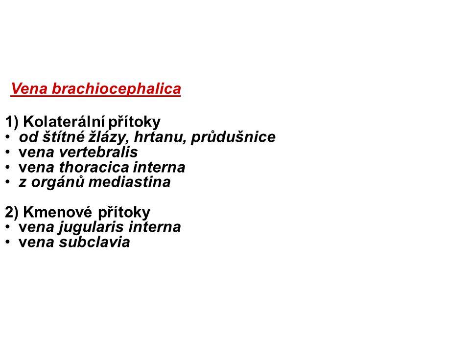1) Kolaterální přítoky od štítné žlázy, hrtanu, průdušnice vena vertebralis vena thoracica interna z orgánů mediastina 2) Kmenové přítoky vena jugularis interna vena subclavia Vena brachiocephalica