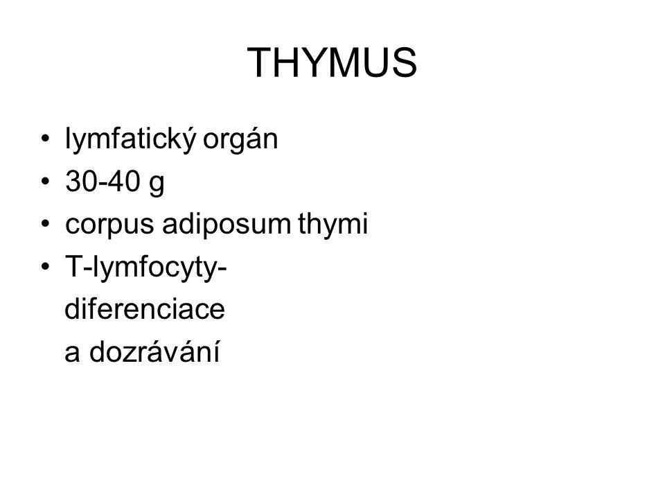 THYMUS lymfatický orgán 30-40 g corpus adiposum thymi T-lymfocyty- diferenciace a dozrávání
