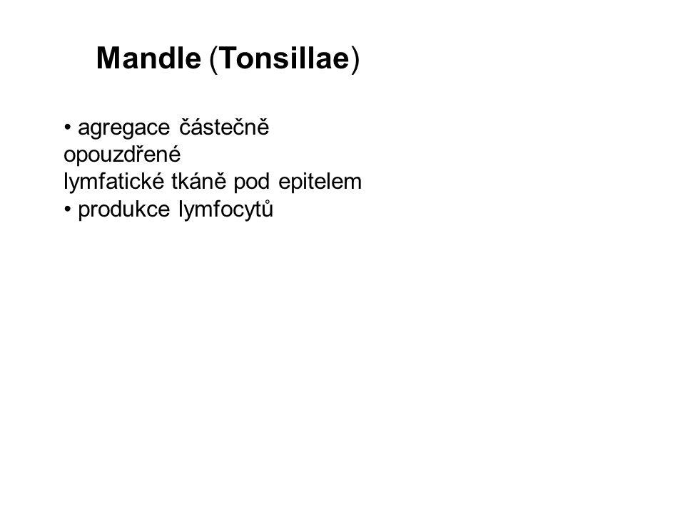 Mandle (Tonsillae) agregace částečně opouzdřené lymfatické tkáně pod epitelem produkce lymfocytů