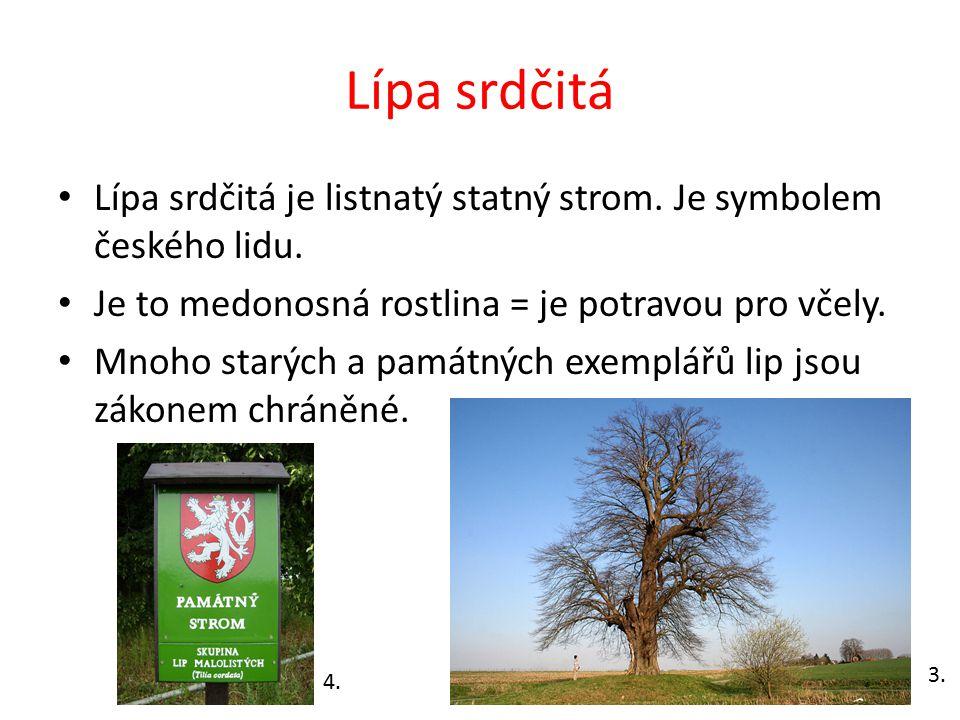 Lípa srdčitá Lípa srdčitá je listnatý statný strom. Je symbolem českého lidu. Je to medonosná rostlina = je potravou pro včely. Mnoho starých a památn