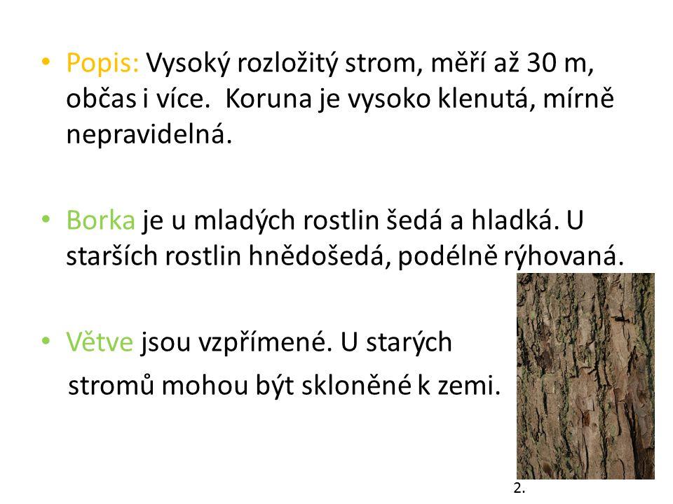Popis: Vysoký rozložitý strom, měří až 30 m, občas i více. Koruna je vysoko klenutá, mírně nepravidelná. Borka je u mladých rostlin šedá a hladká. U s