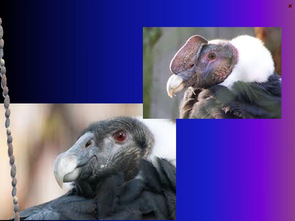 Kondor andský České jméno : Kondor andský Latinské jméno : Vultur gryphus Výskyt : Vyskytuje se poměrně řídce po celých Andách, nejvíce na jejich vých