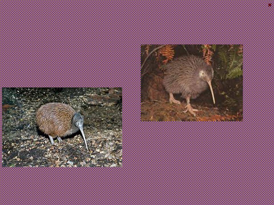 Kivi Jižní České jméno : Kivi Jižní Latinské jméno : Apteryx Australis Výskyt : Byl kdysi na novém Zélandu velmi rozšířen, ale vážně ho postihuje odle