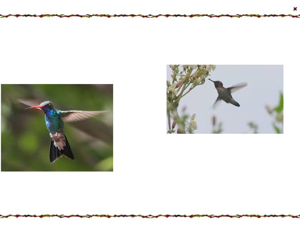 Kalypta nejmenší České jméno : Kalypta nejmenší Latinské jméno : Mellisuga helenae Výskyt : Vyskytuje se na Kubě a na ostrově Isla de la Juventud, poz