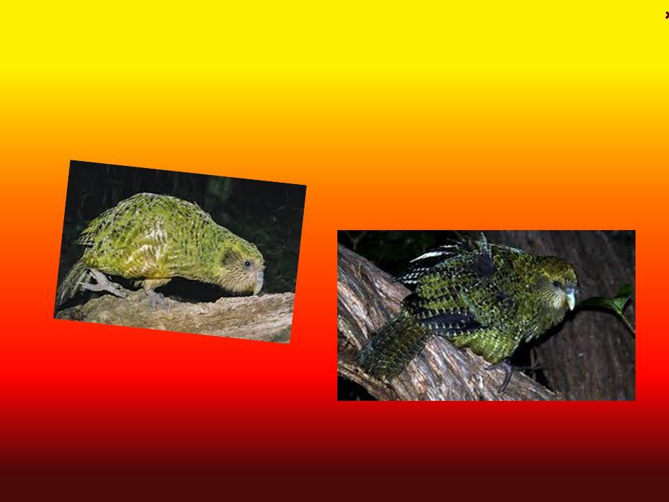 Kakapo soví České jméno: Kakapo soví Latinské jméno : Strigops habroptila Výskyt : přežívá na několika ostrovech Nového Zélandu Aktivní : Ve dne Potra