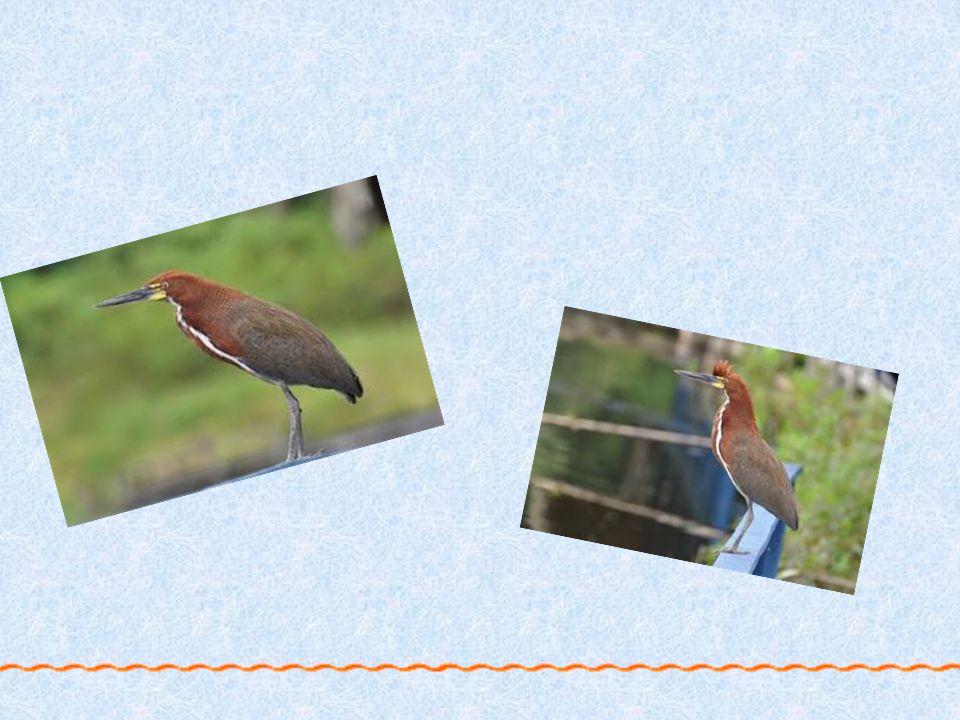 Bukač červenavý České jméno : Bukač červenavý Latinské jméno : igrisoma lineatum Výskyt : jižní Pantanal, Brazílie. Aktivní : ve dne Živí se ještěrkam