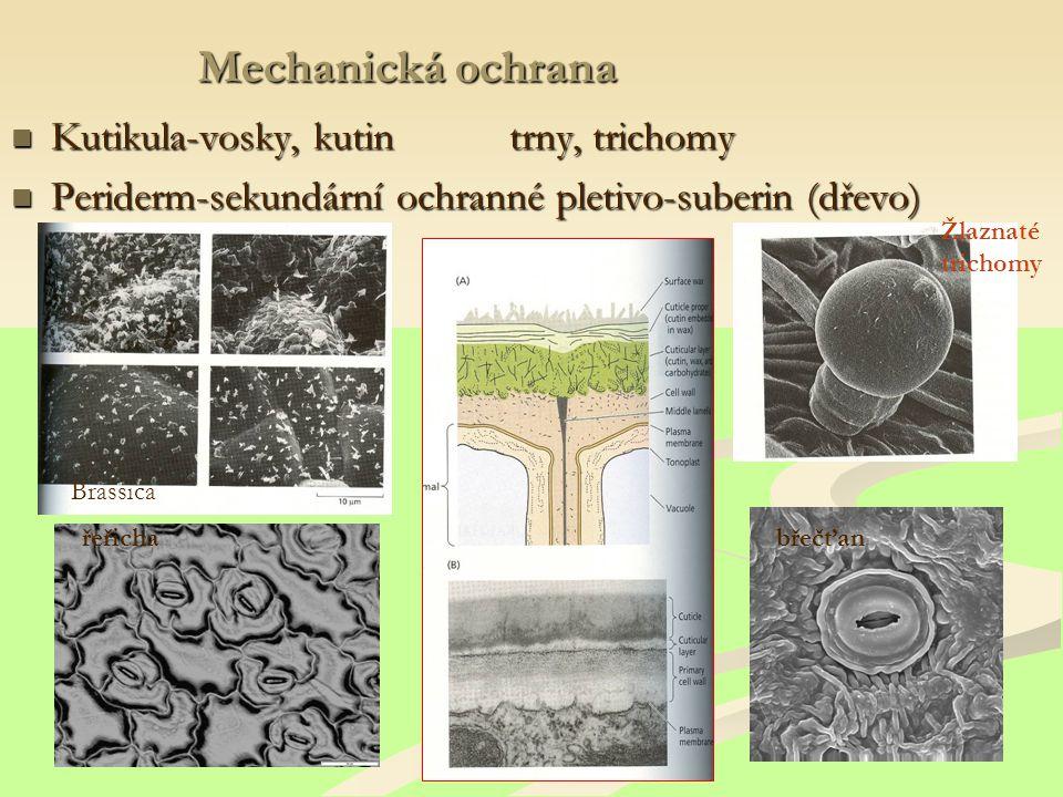 Mechanická ochrana Kutikula-vosky, kutin trny, trichomy Kutikula-vosky, kutin trny, trichomy Periderm-sekundární ochranné pletivo-suberin (dřevo) Periderm-sekundární ochranné pletivo-suberin (dřevo) břečťanřeřicha Brassica Žlaznaté trichomy