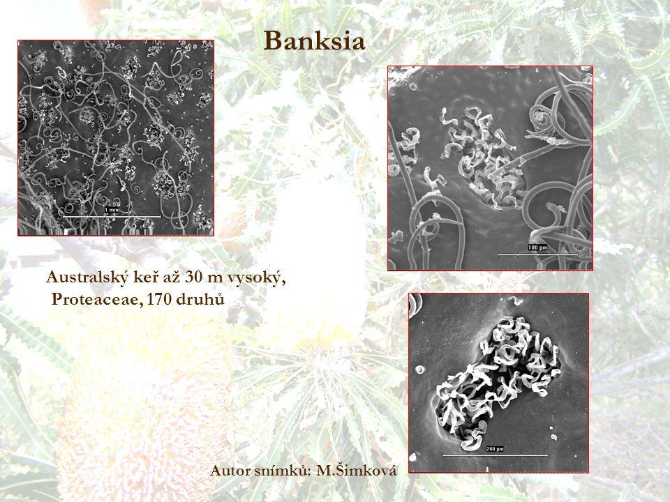 Banksia Autor snímků: M.Šimková Australský keř až 30 m vysoký, Proteaceae, 170 druhů