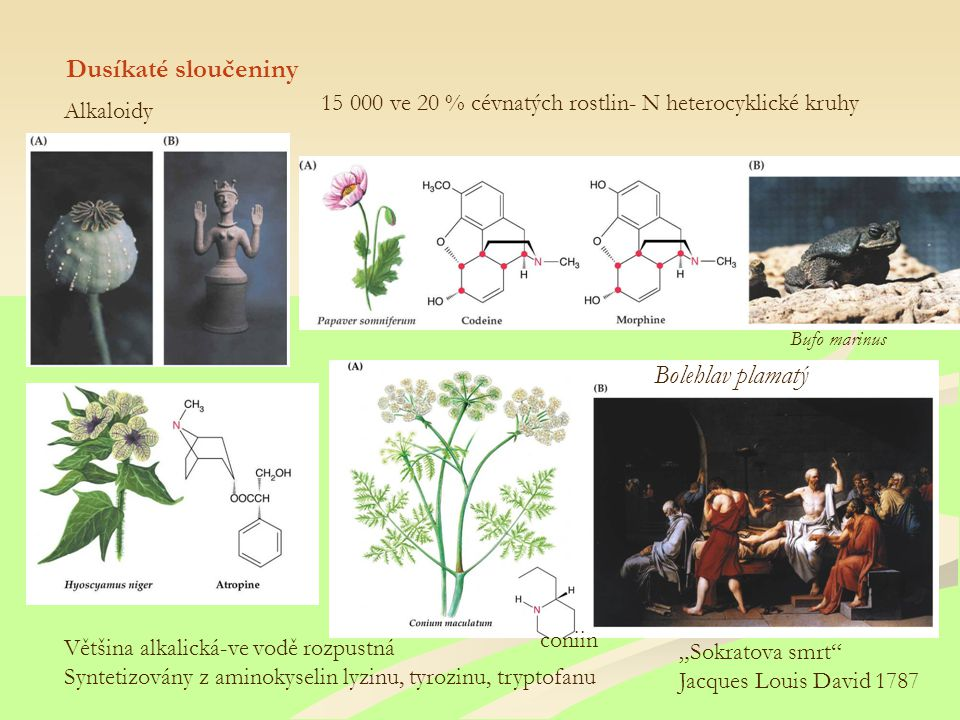 """Dusíkaté sloučeniny Alkaloidy 15 000 ve 20 % cévnatých rostlin- N heterocyklické kruhy Většina alkalická-ve vodě rozpustná Syntetizovány z aminokyselin lyzinu, tyrozinu, tryptofanu """"Sokratova smrt Jacques Louis David 1787 coniin Bolehlav plamatý Bufo marinus"""