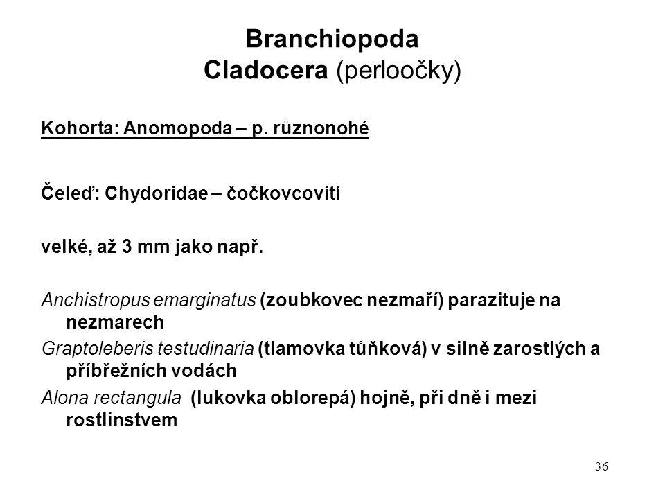 36 Kohorta: Anomopoda – p. různonohé Čeleď: Chydoridae – čočkovcovití velké, až 3 mm jako např. Anchistropus emarginatus (zoubkovec nezmaří) parazituj