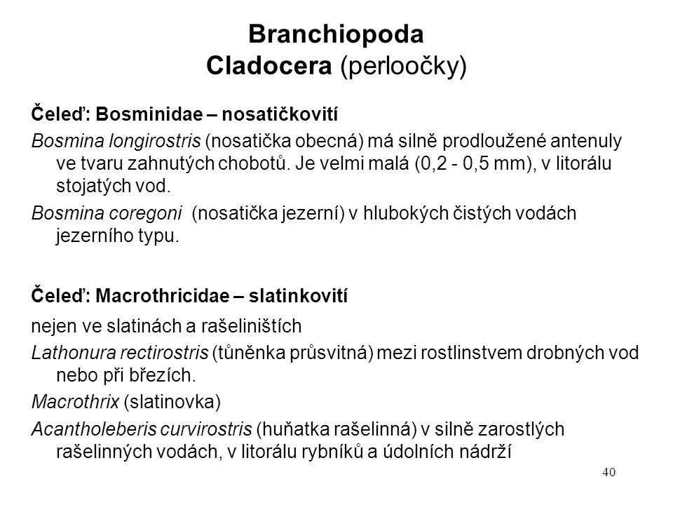 40 Čeleď: Bosminidae – nosatičkovití Bosmina longirostris (nosatička obecná) má silně prodloužené antenuly ve tvaru zahnutých chobotů. Je velmi malá (