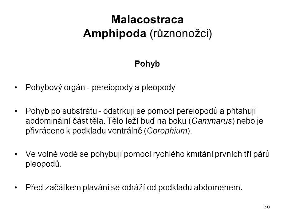 56 Pohyb Pohybový orgán - pereiopody a pleopody Pohyb po substrátu - odstrkují se pomocí pereiopodů a přitahují abdominální část těla. Tělo leží buď n